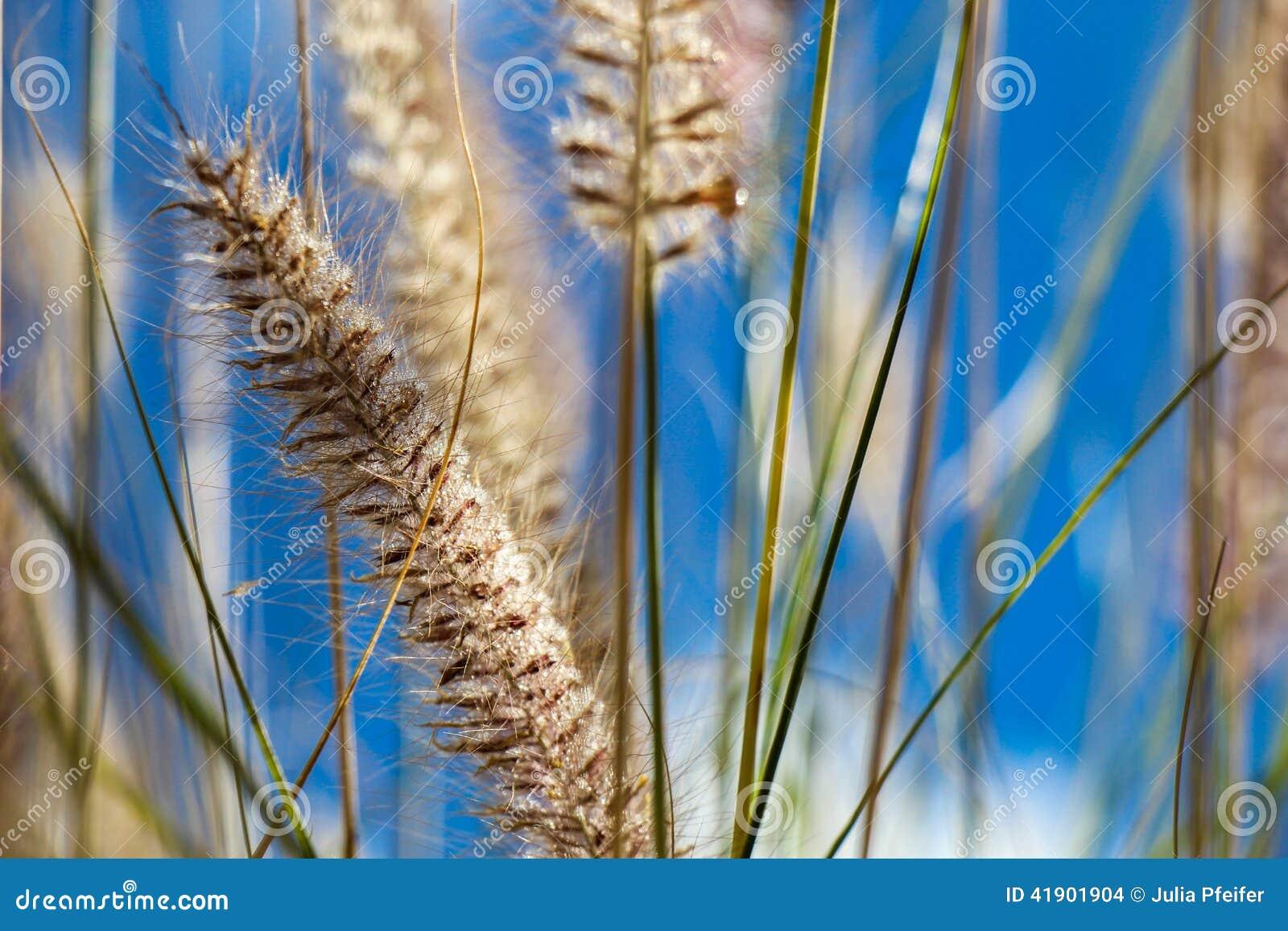 Hierba ornamental salvaje floreciente