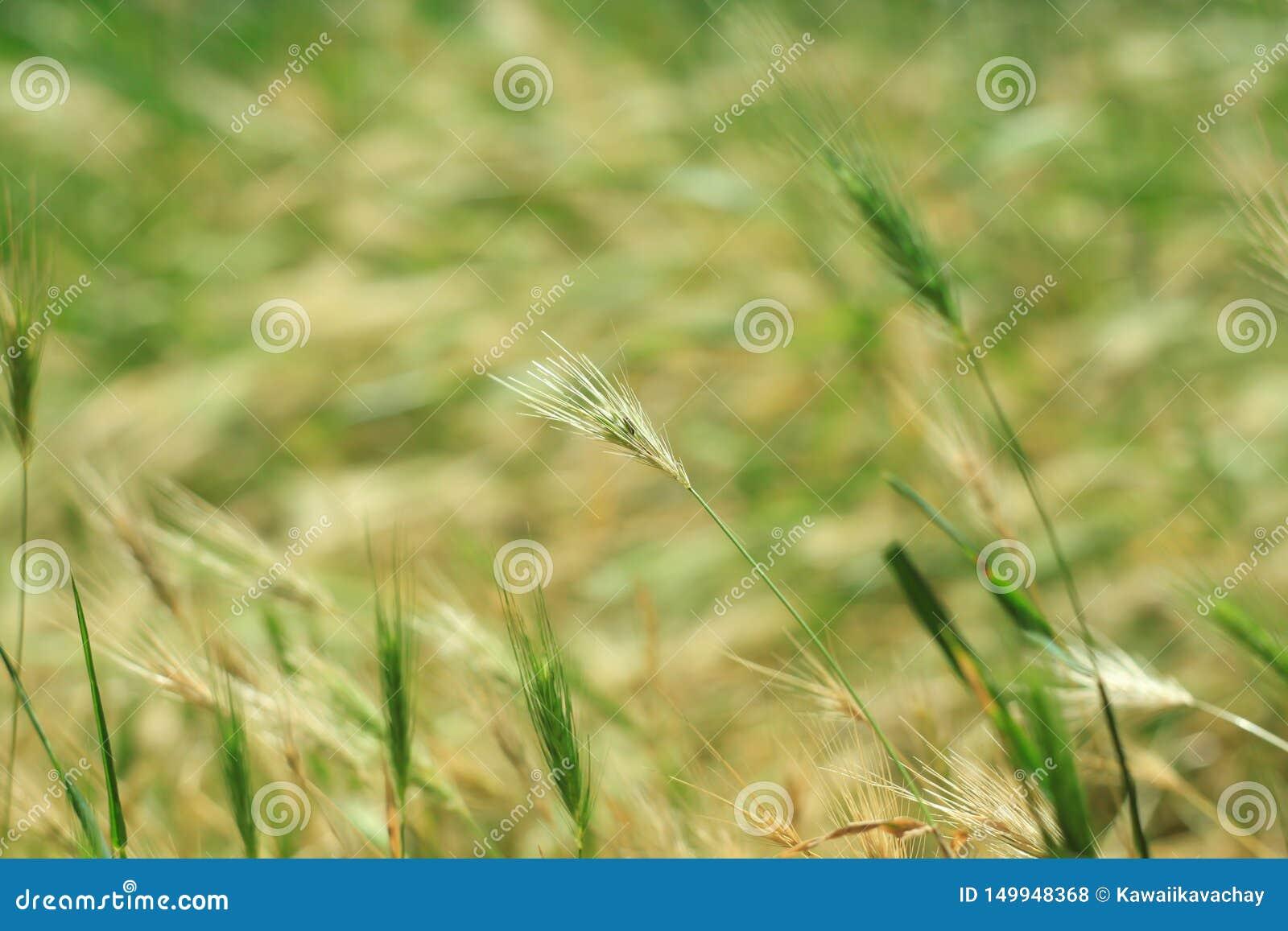 Hierba salvaje con las espiguillas que balancean suavemente en el viento, cebadas de pared Hierba verde con los o?dos de oro y mu