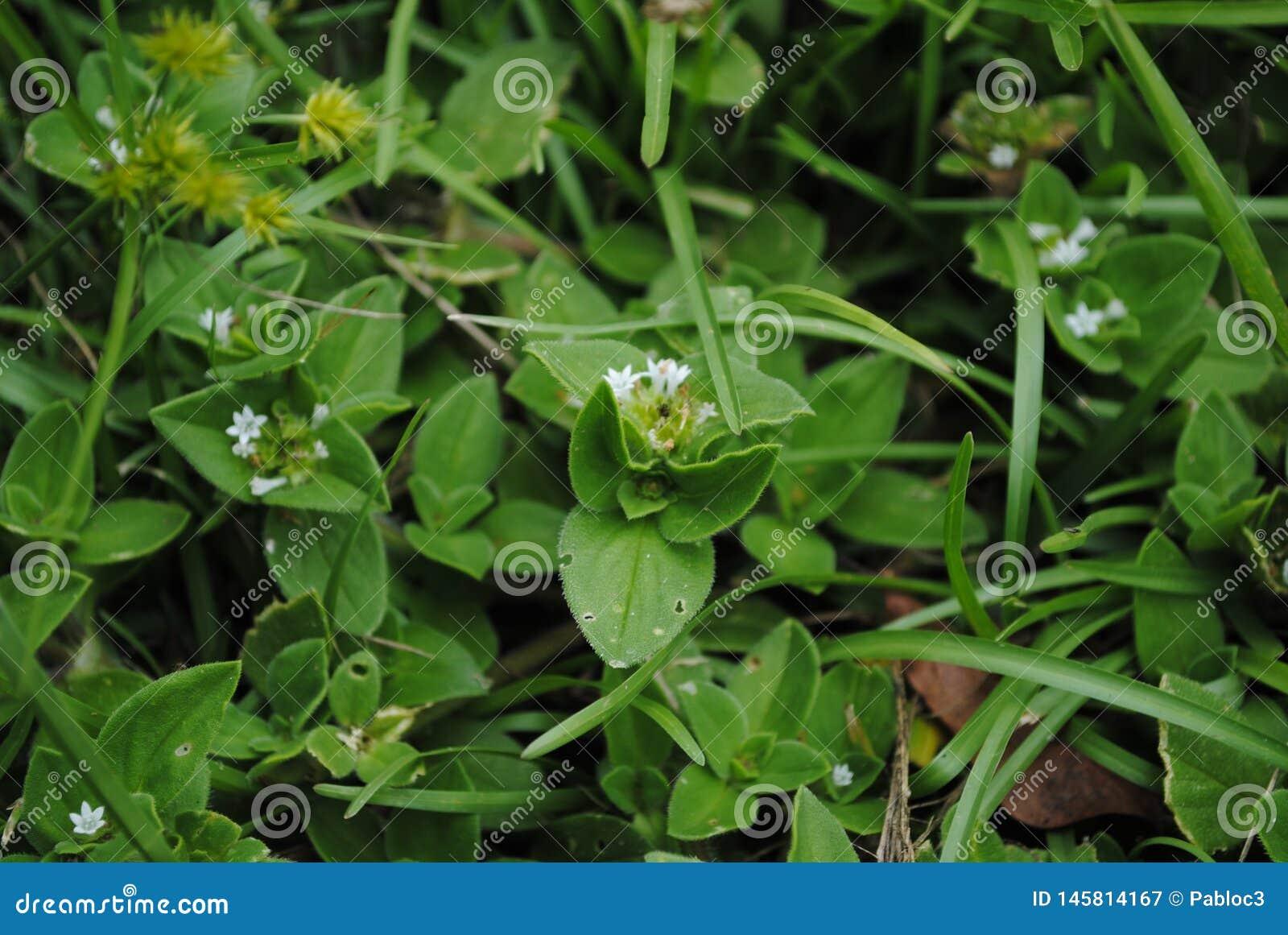 Hierba salvaje con las flores blancas