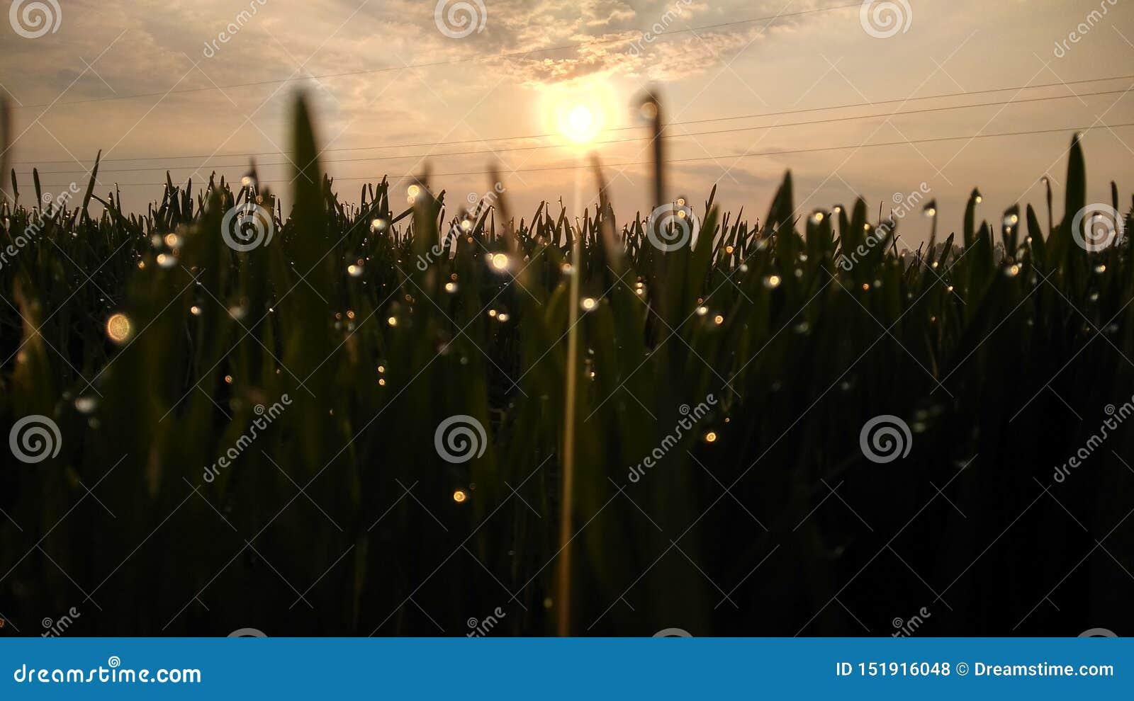 Hierba verde de los ambientes de Natuars con rocío y el cultivo del descenso del agua de mañana de la puesta del sol de la salida