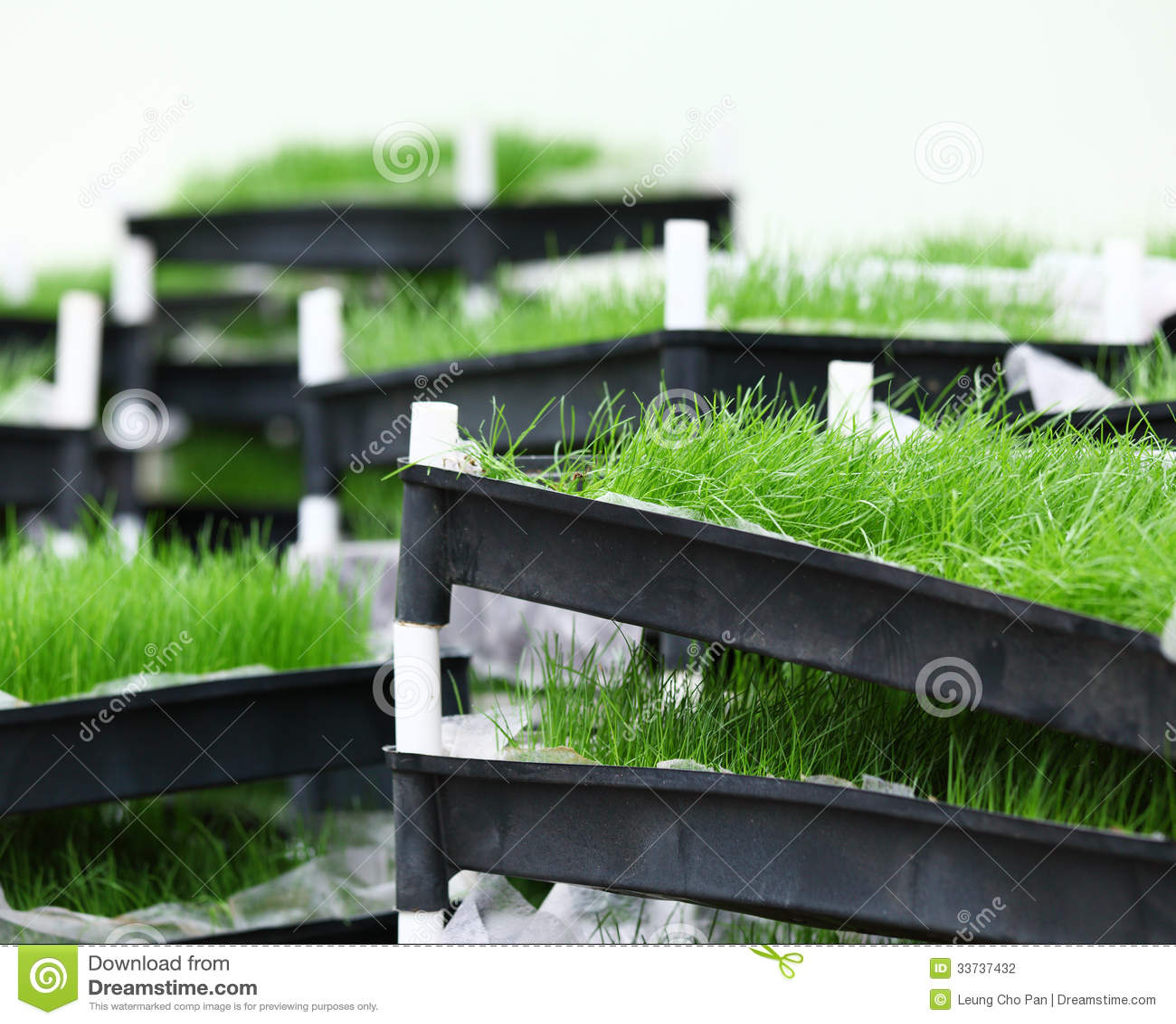 Hierba verde en bandeja