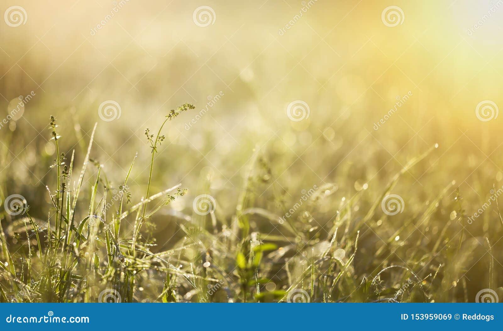 Hierba verde en un rocío del verano, fondo de la bandera de la naturaleza
