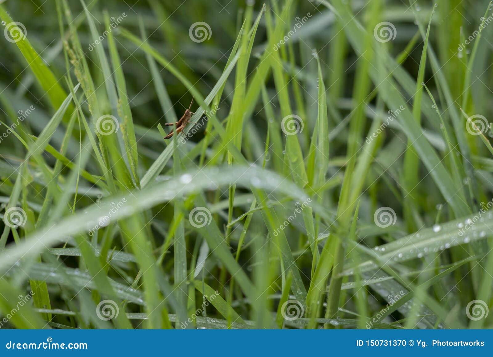Hierba verde fresca con el saltamontes en la hoja