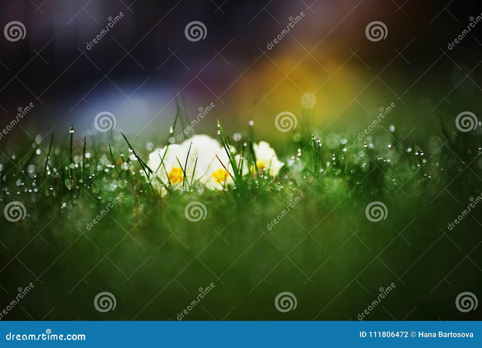 Hierba verde joven cubierta de rocio con el pensamiento creciente el la primavera