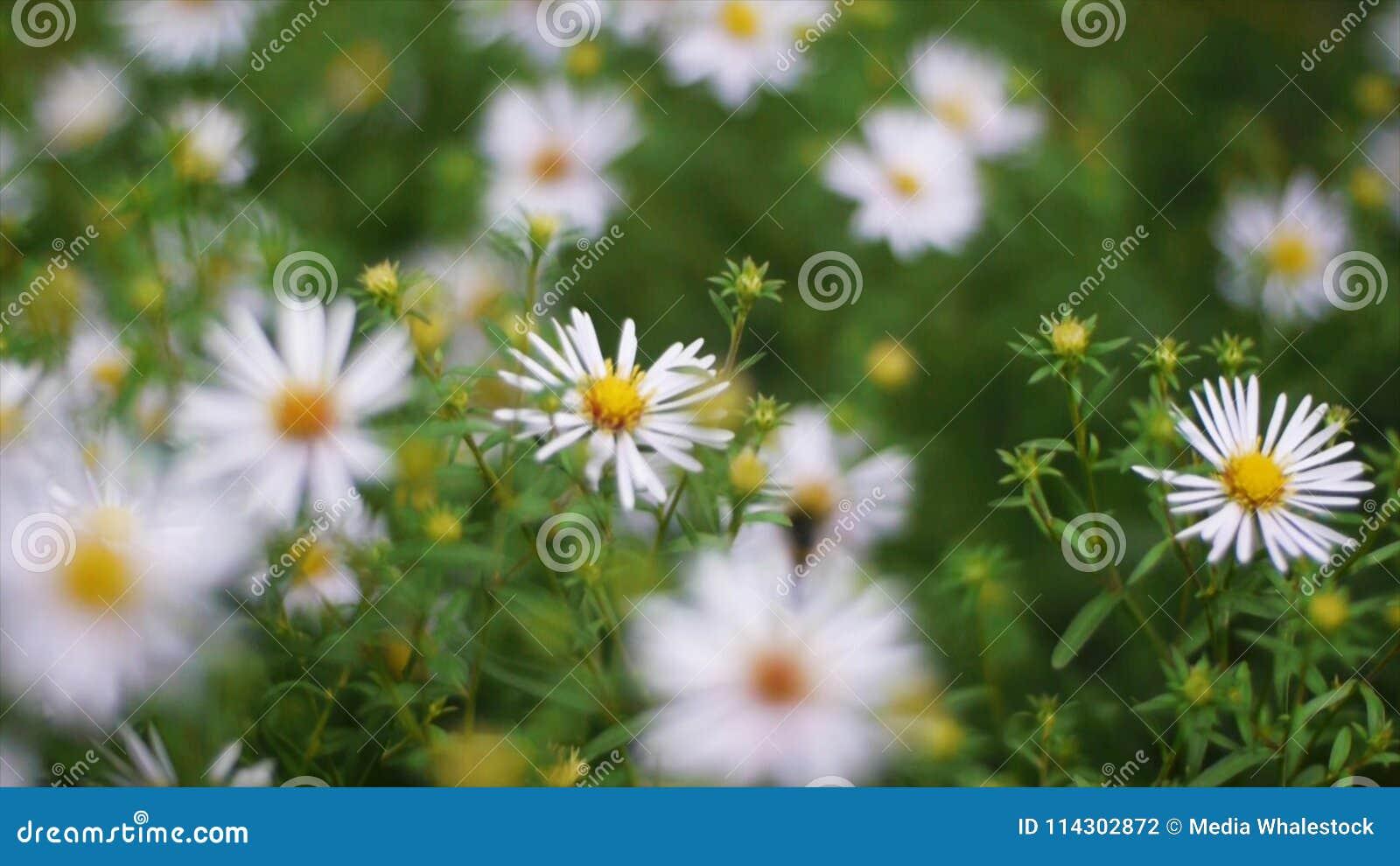 Hierba verde y manzanillas en la naturaleza clip Flores de la manzanilla en un prado verde