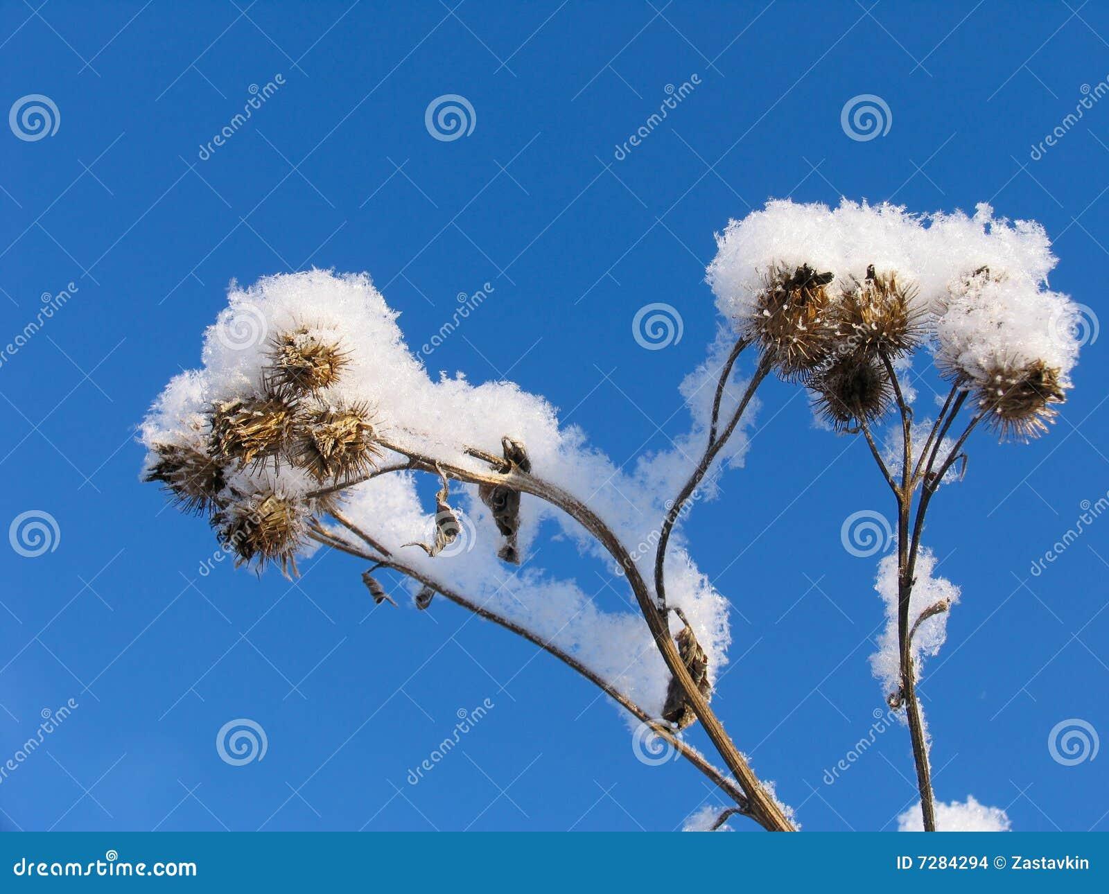 Hierba vestida en el sobretodo de la nieve
