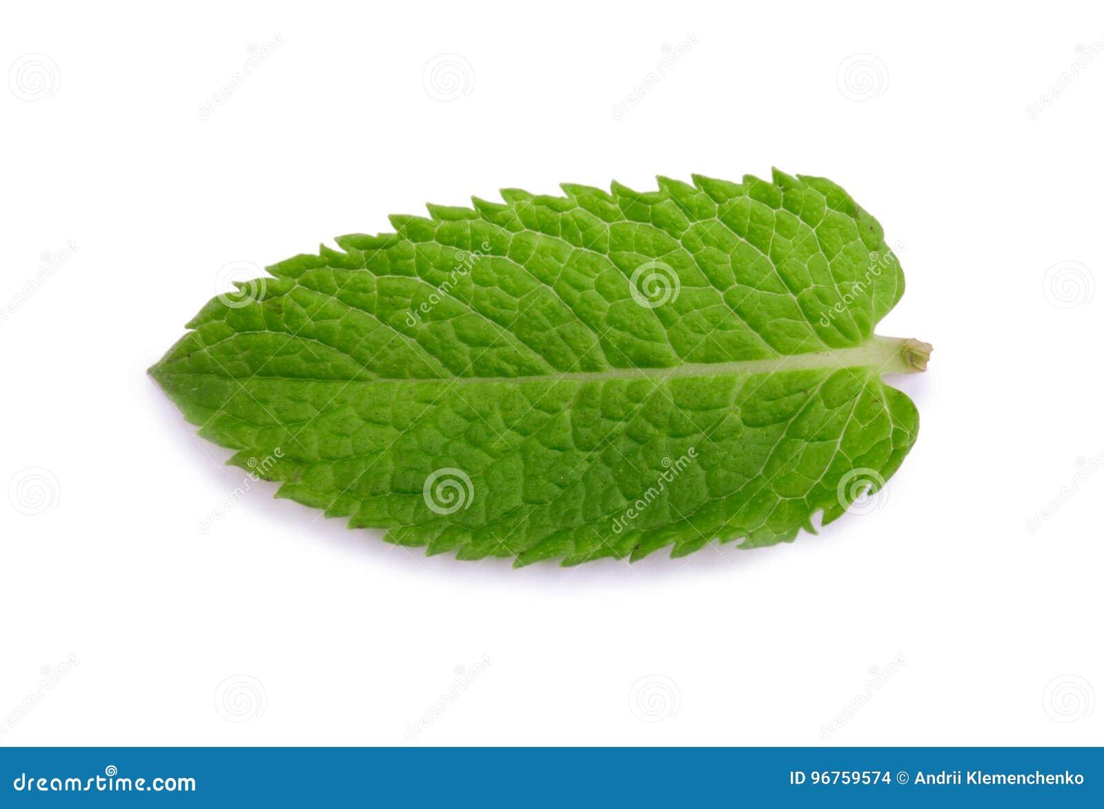 Hierbabuena, menta verde Planta medicinal Un primer de una hoja dulce y fresca de la menta Hojas de menta verdes claras