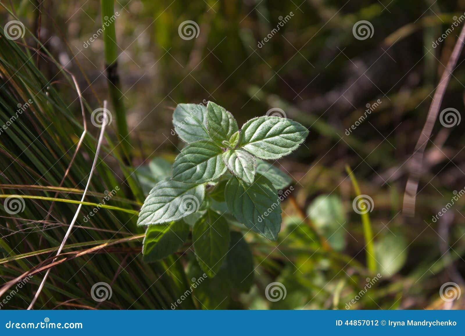 Hierbabuena salvaje en la hierba
