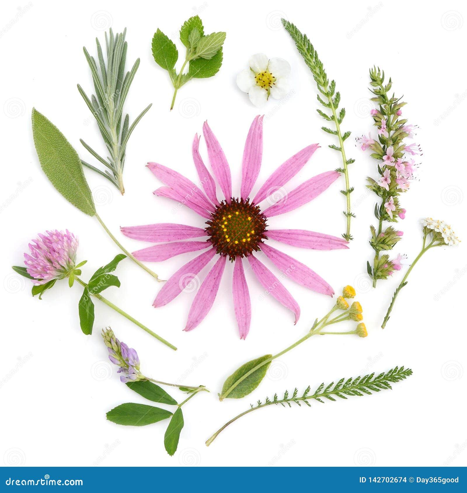 Hierbas curativas Ramo de las plantas medicinales y de las flores de echinacea, trébol, milenrama, Hisopo, sabio, alfalfa, lavand