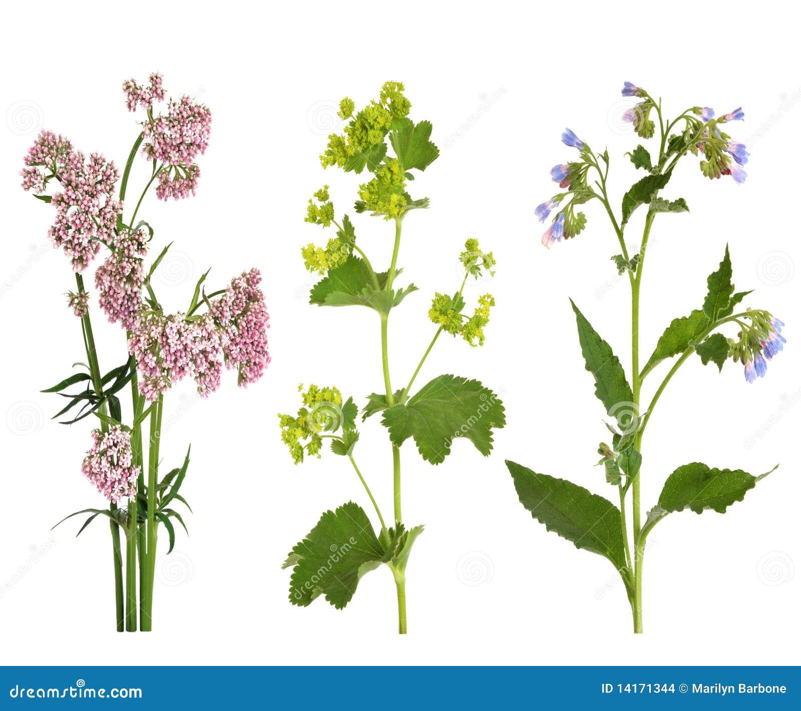 Hierbas medicinales en flor
