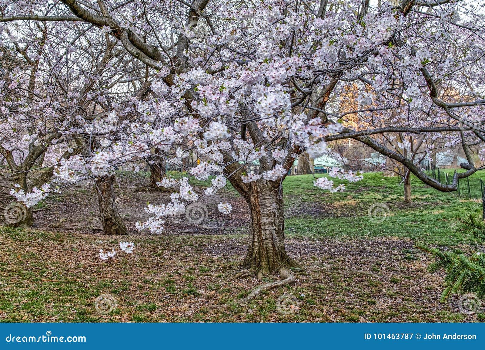 Higan Cherry Tree Stock Image Image Of Tree Higan 101463787
