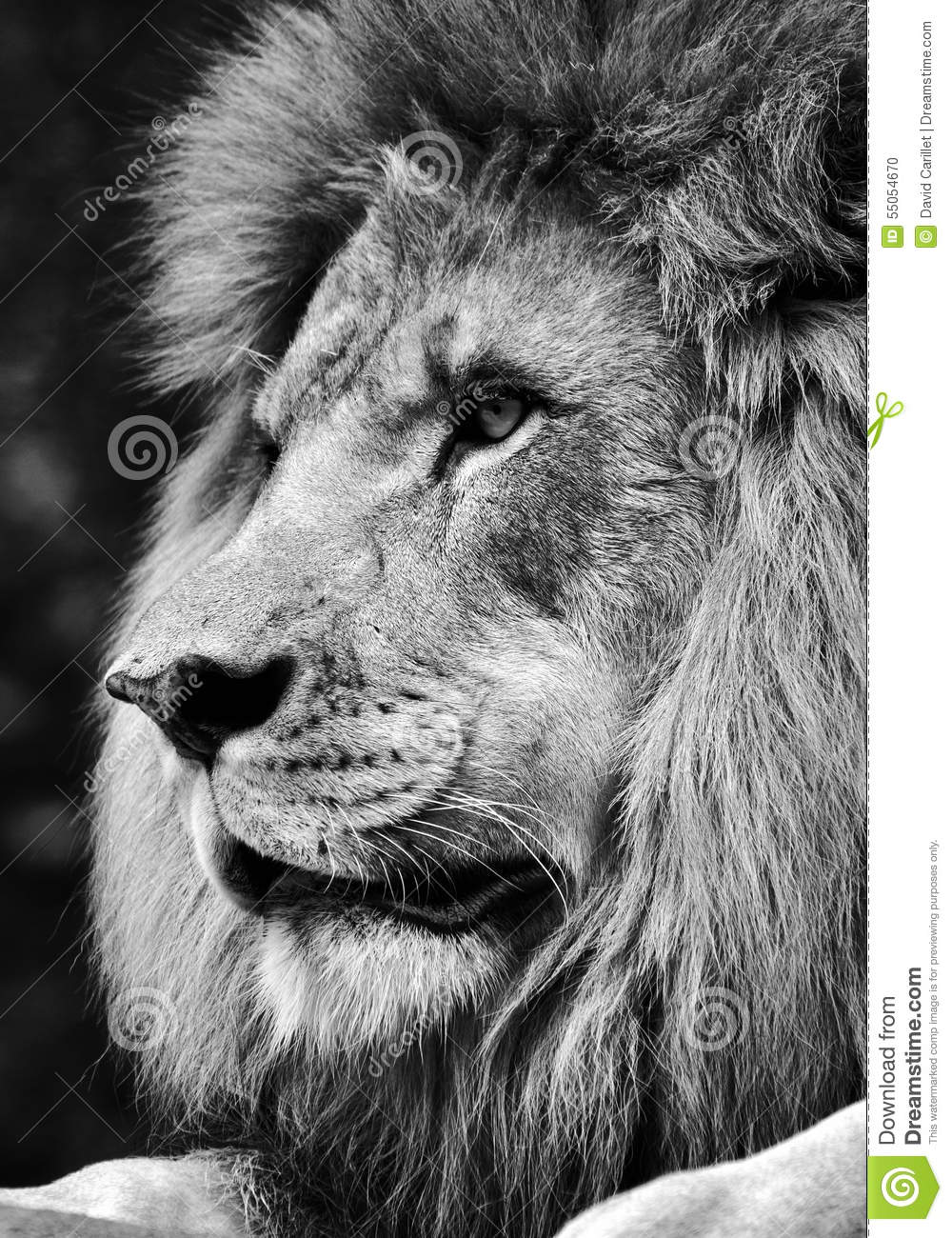high contrast black and white of a powerful male lion face stock