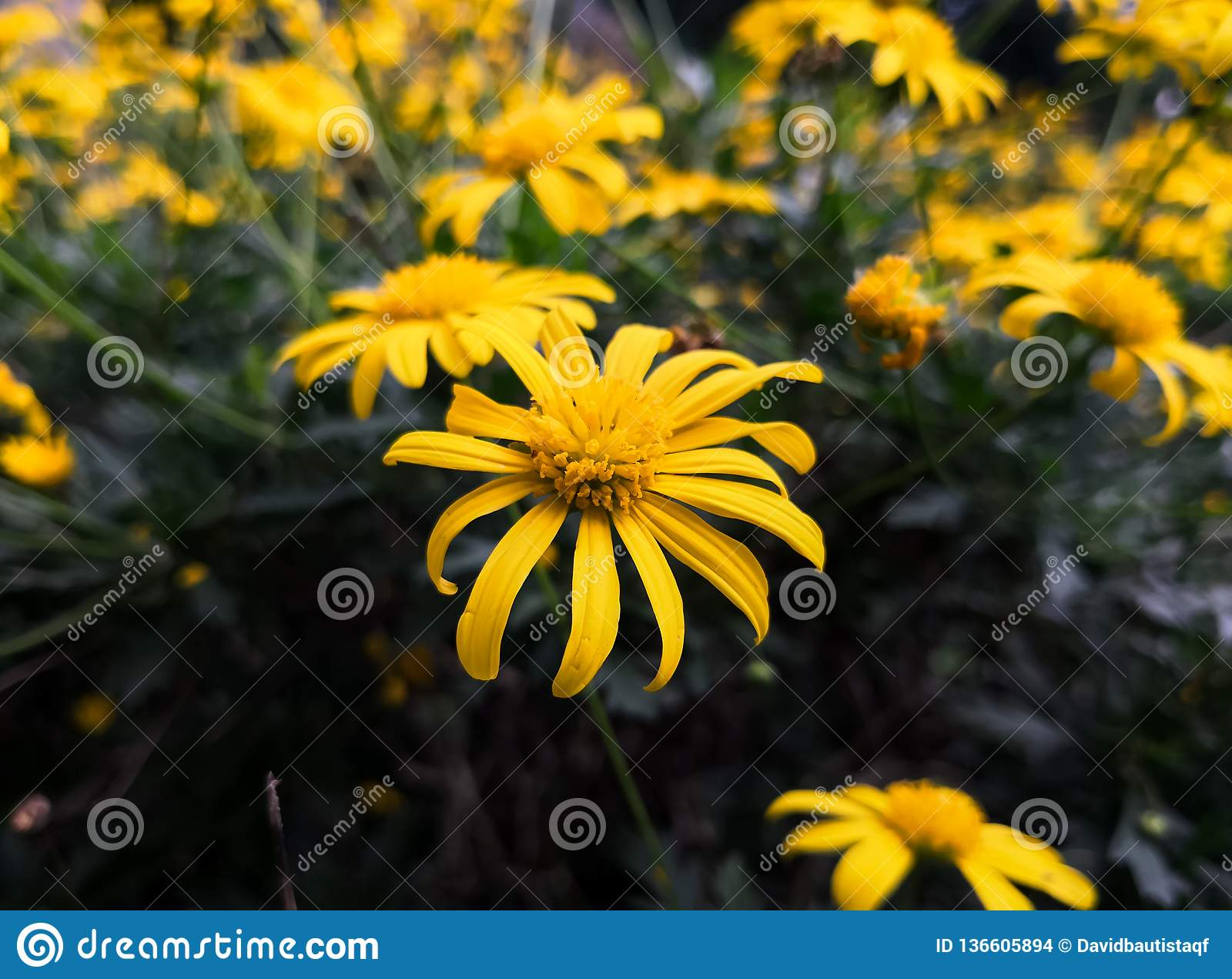 High contrast between yellow flowers and dark background. Meadow and flowerbed.