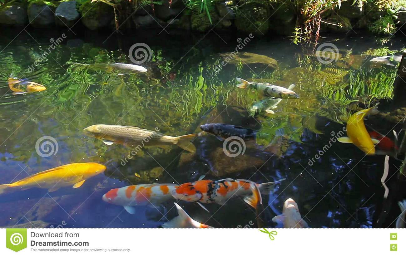 High Definition Of Colorful Koi Fish Swimming In A Pond In Garden ...