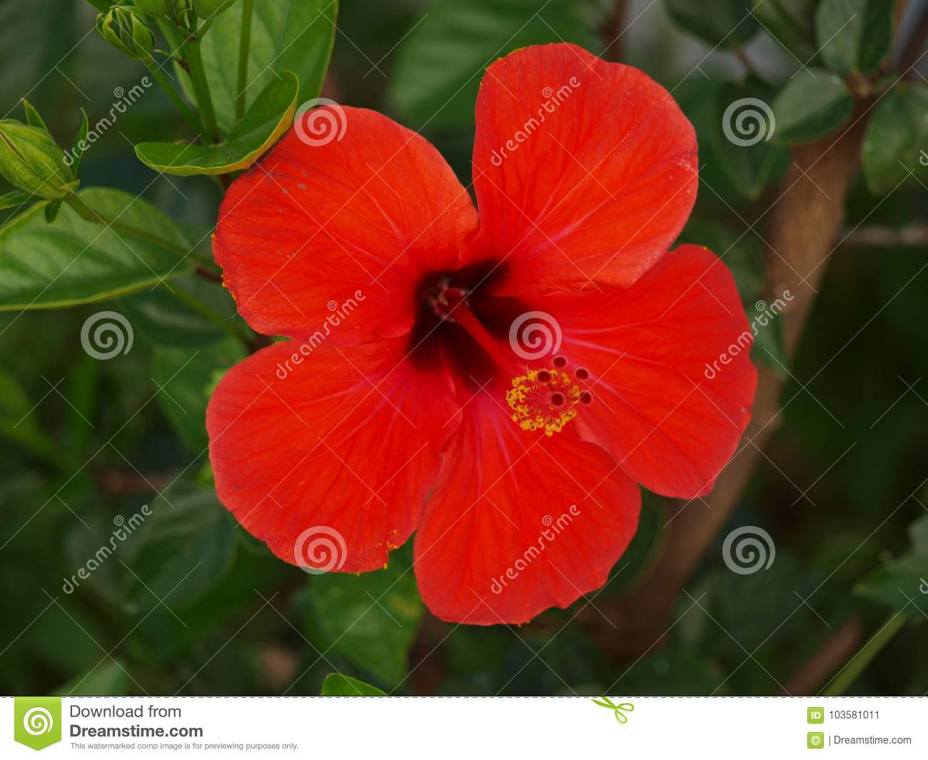 High Definition Of Open Red Flower Stock Image - Image of garden