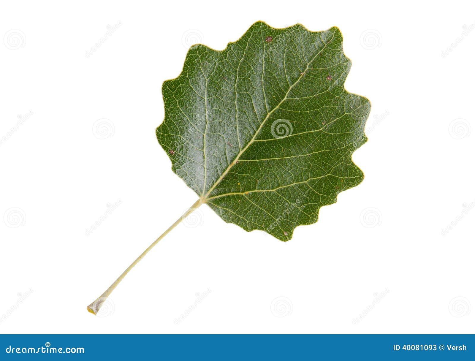 White Poplar Tree Leaf leaf of white poplar tree