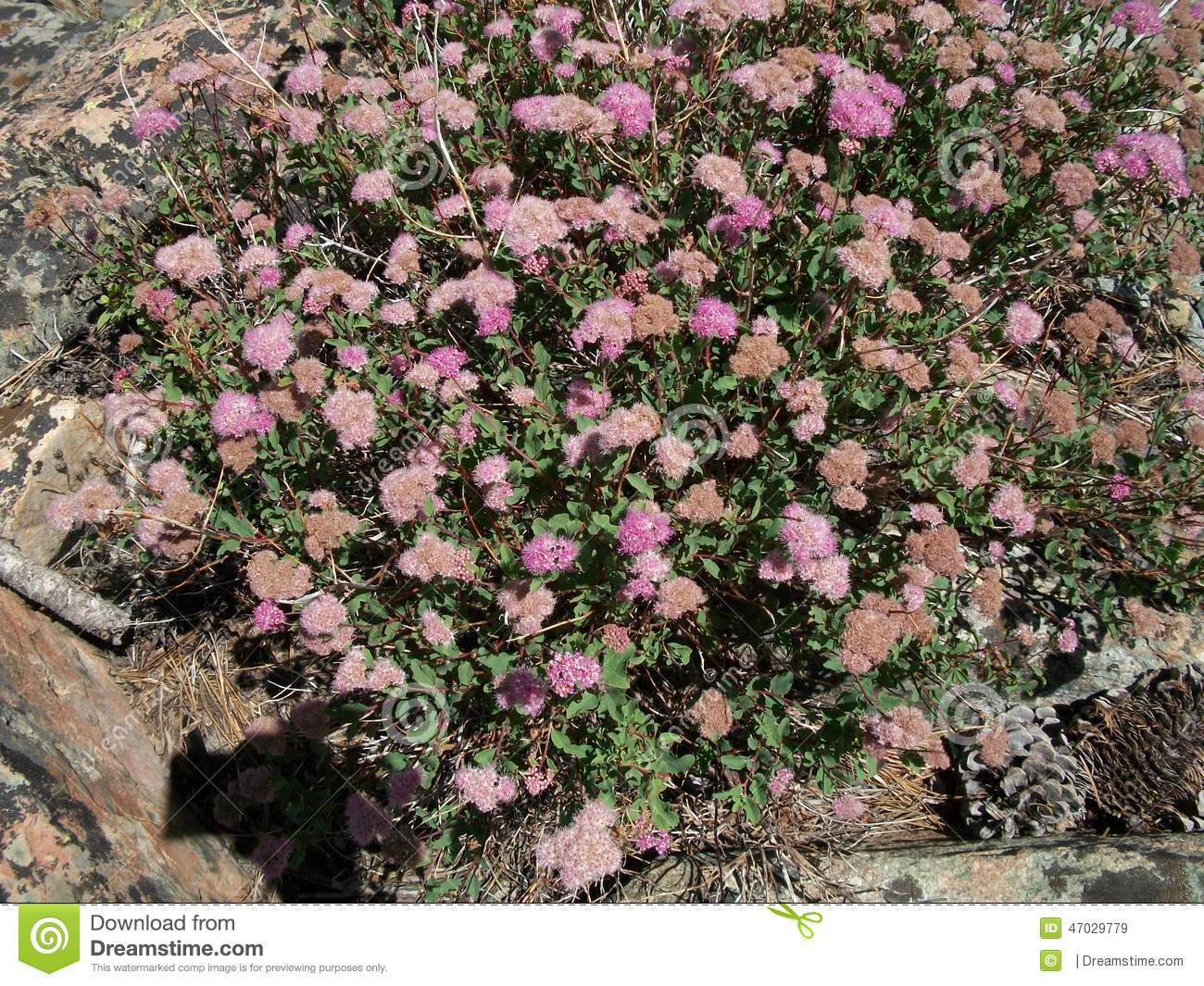High Sierra Alpine Flowers Pink Stock Image Image Of High Pines