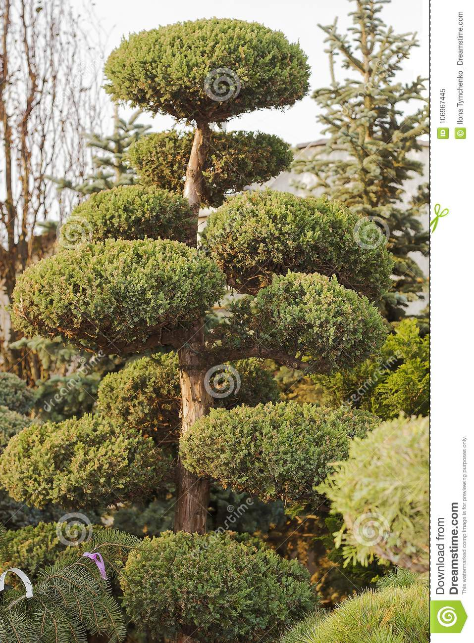 High Taxus Evergreen Coniferous Topiary Tree Stock Image Image Of Form Evergreen 106967445