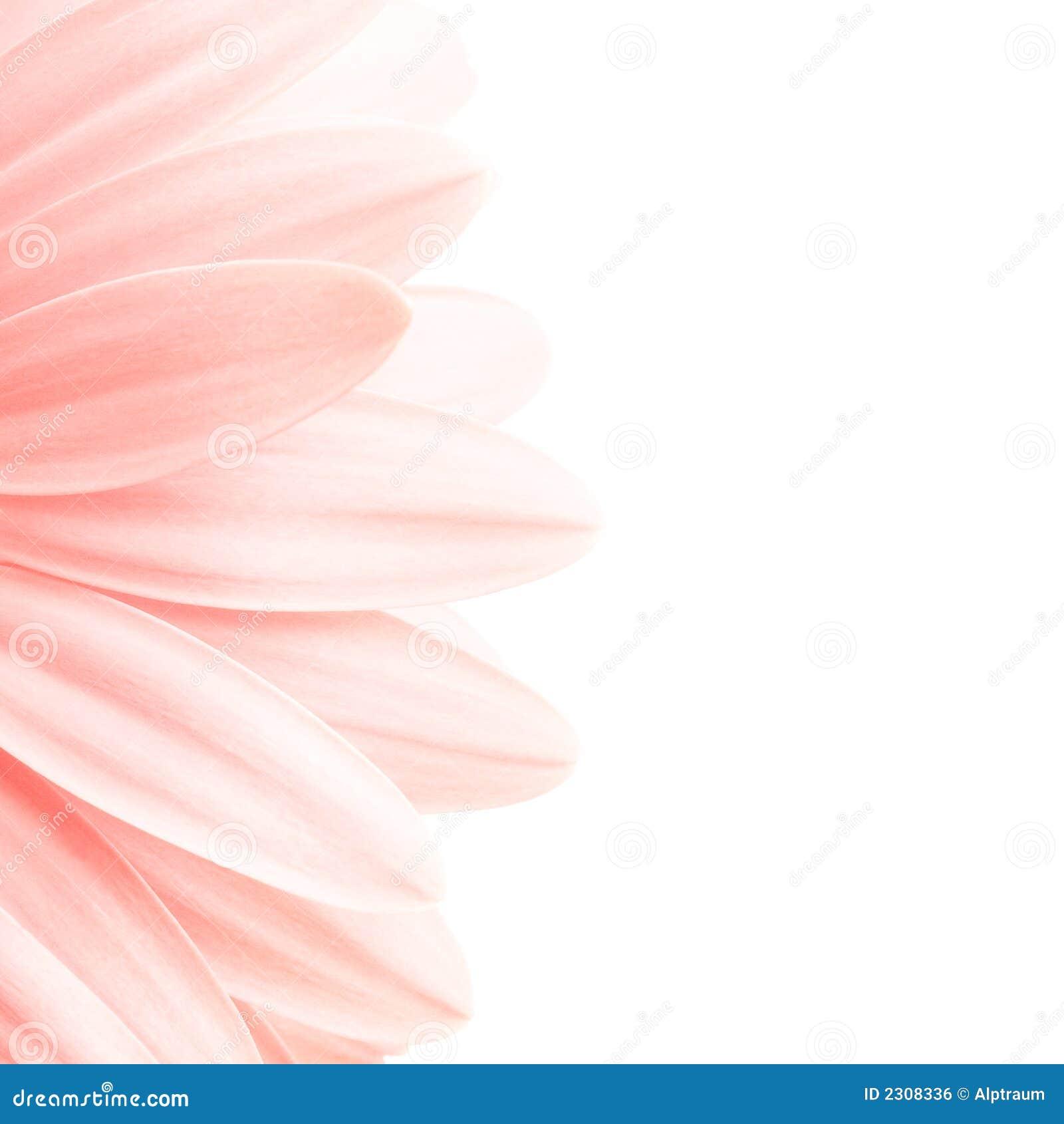Highkey cor-de-rosa das pétalas