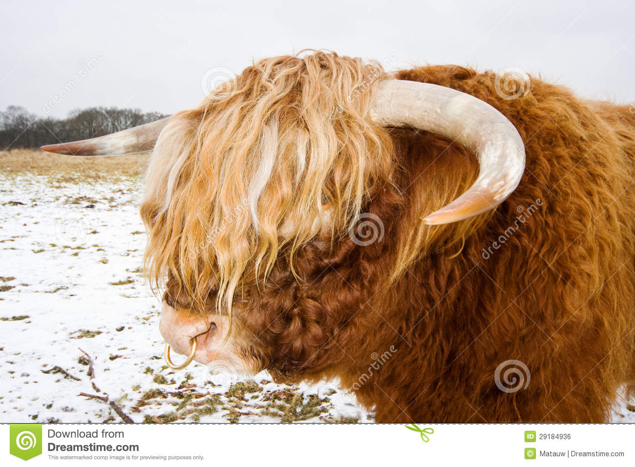 Highland Bull With Ring In Nose Stock Photo Image Of Beast Animal