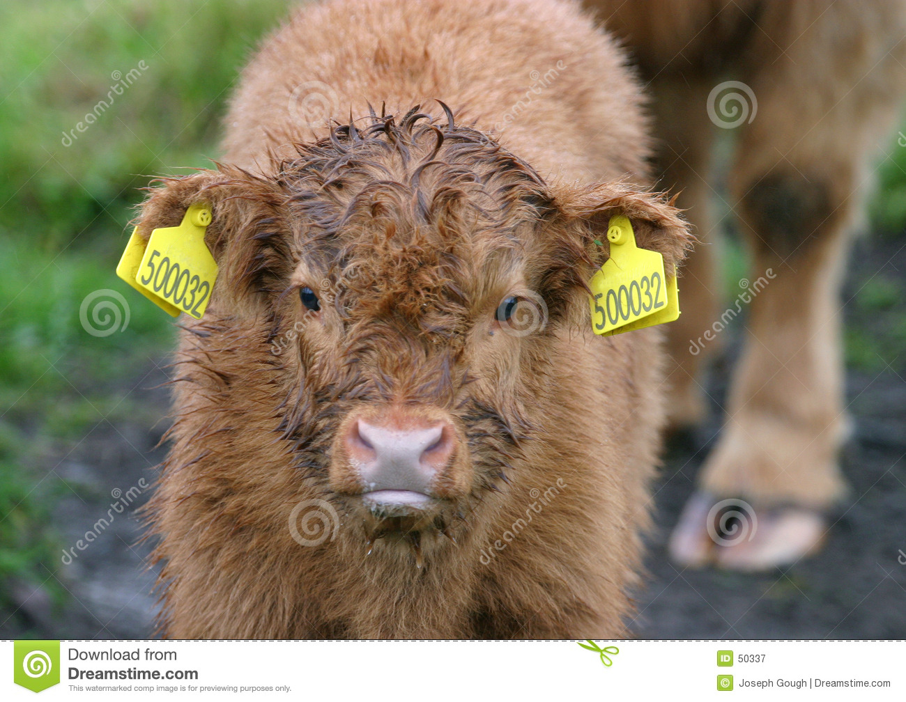 Highland Cattle Calf 2