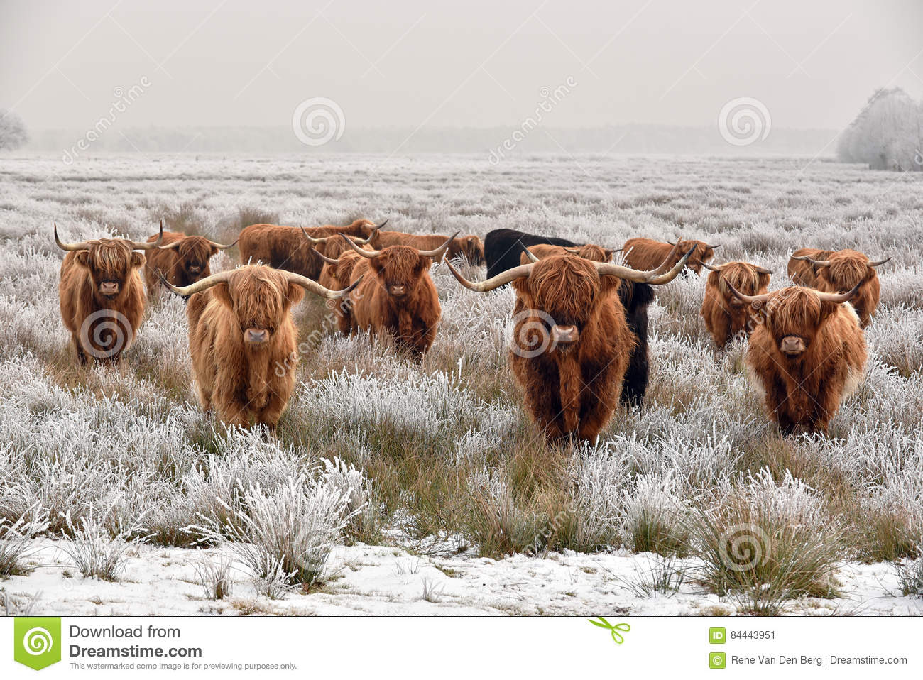 Highland cattle stock image. Image of hoarfrost, hairy ...
