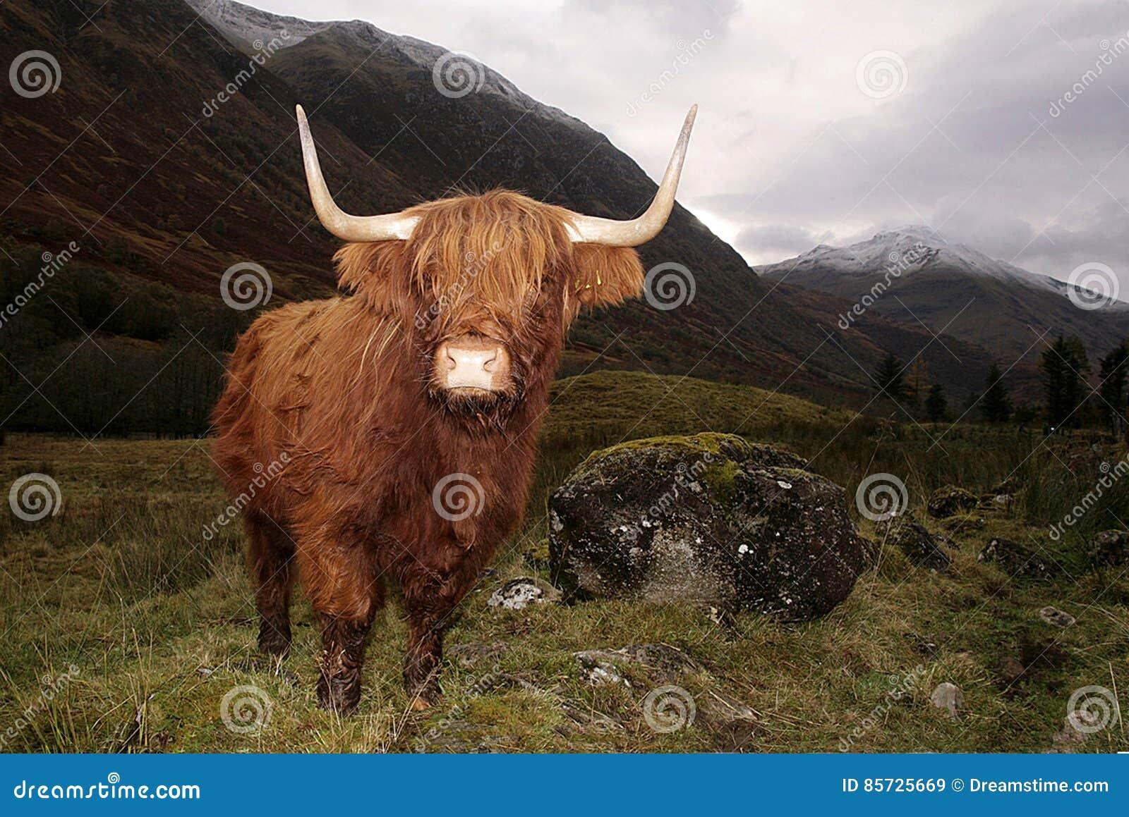 Highland cow in a Glen Coe, Scotland