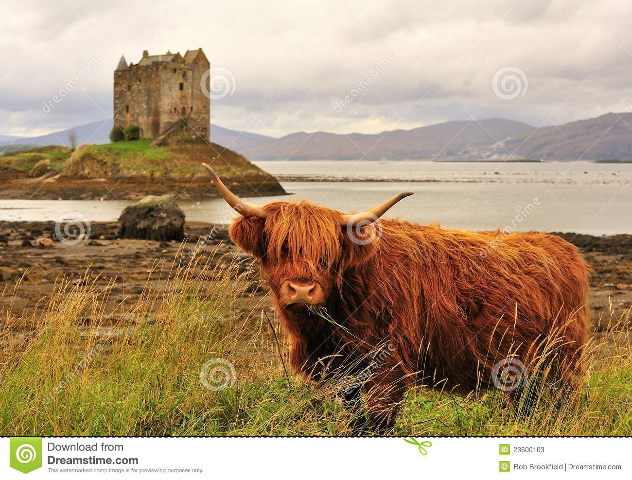 highland cow on loch linnhe scotland stock photos image 23600103
