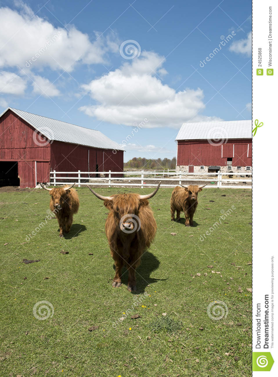 Highland cows on a Wisconsin dairy farm. Barns, blue sky and clouds ...