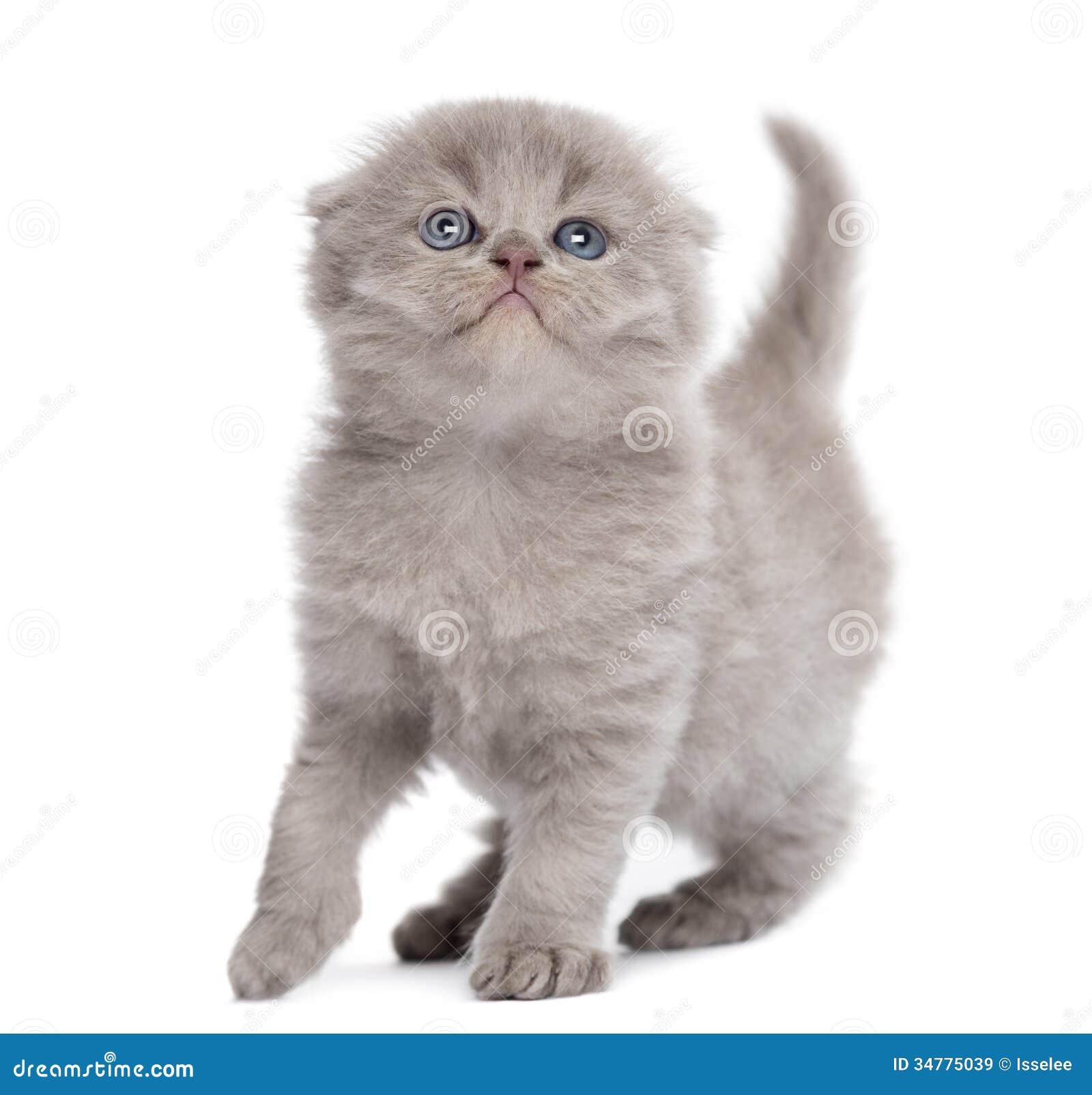 Highland Fold Kitten, ...