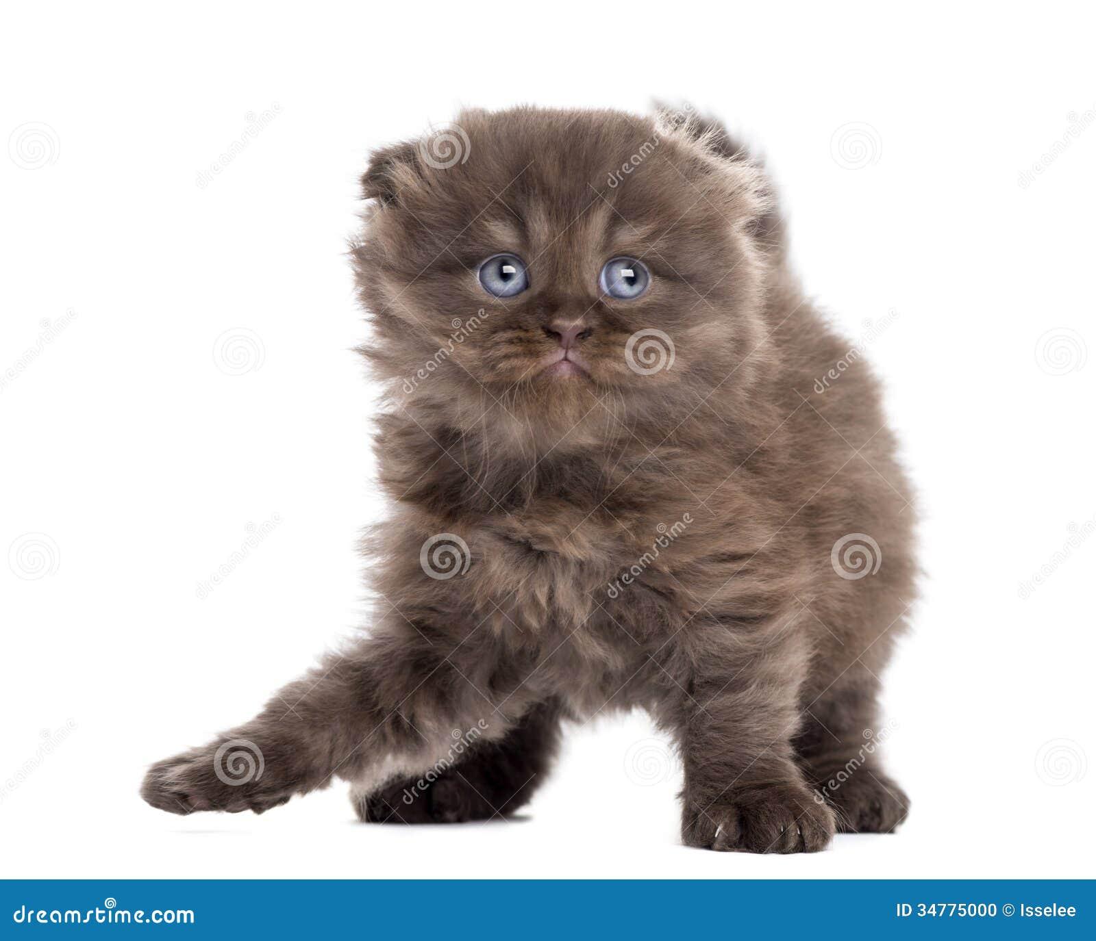 Highland Fold Kitten P...