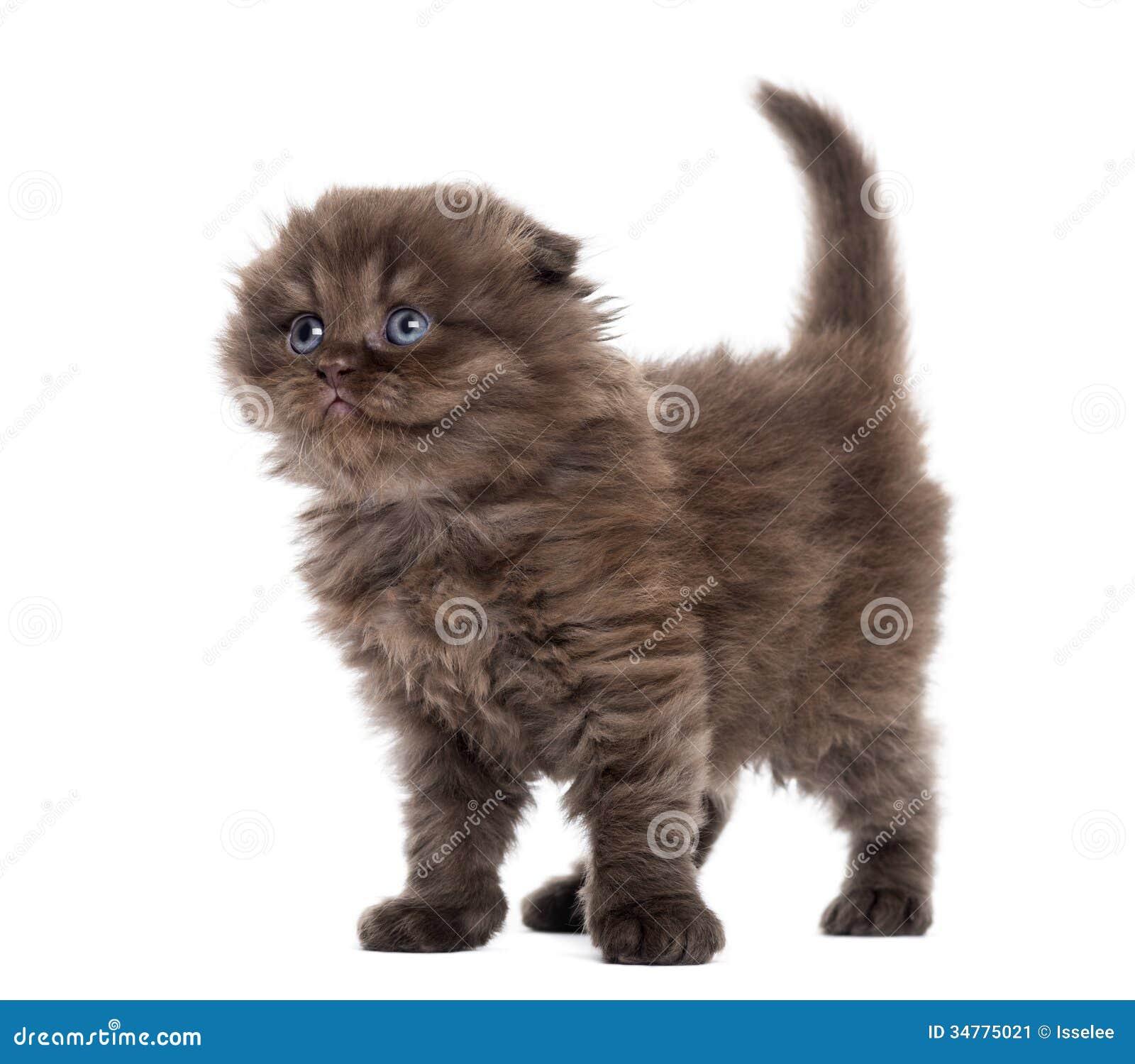 Highland Fold Kitten S...