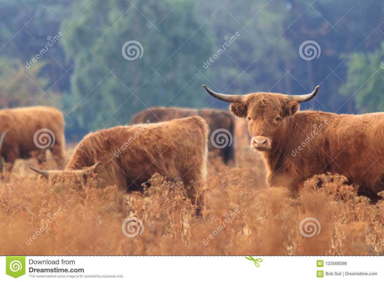 Furry highland cow cattle herd dry field