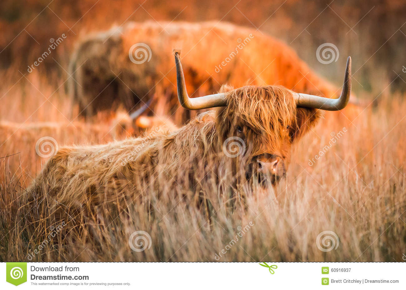 Highland red cow