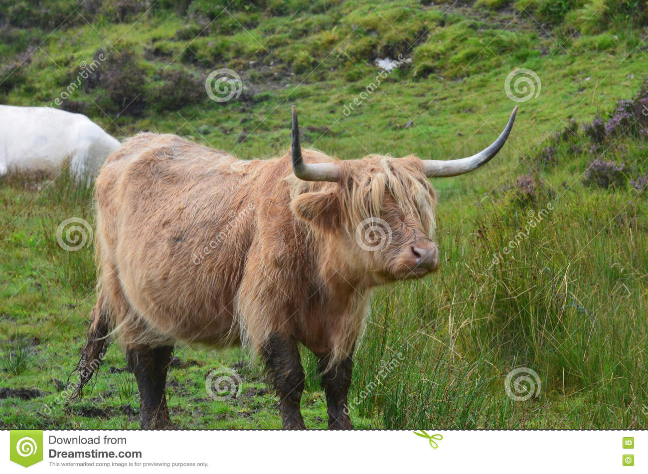 The Highlands with Highland Cattle