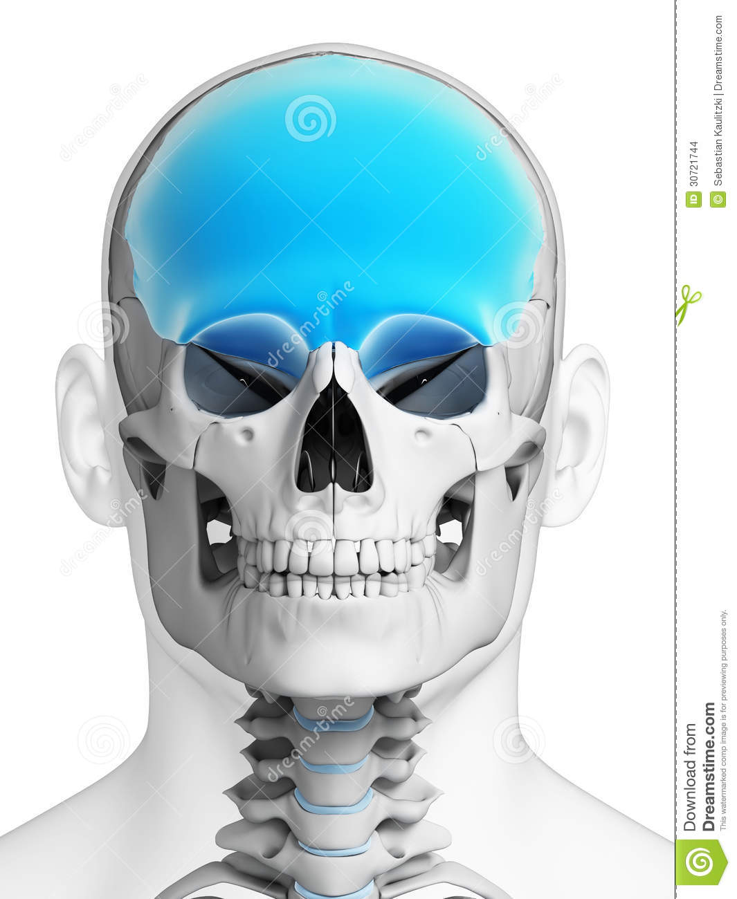Highlighted Frontal Bone Stock Illustration Illustration Of Anatomy