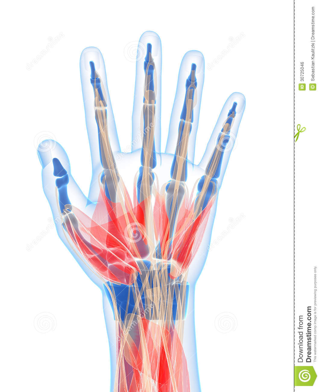 Highlighted Human Hand Muscles Stock Illustration Illustration Of