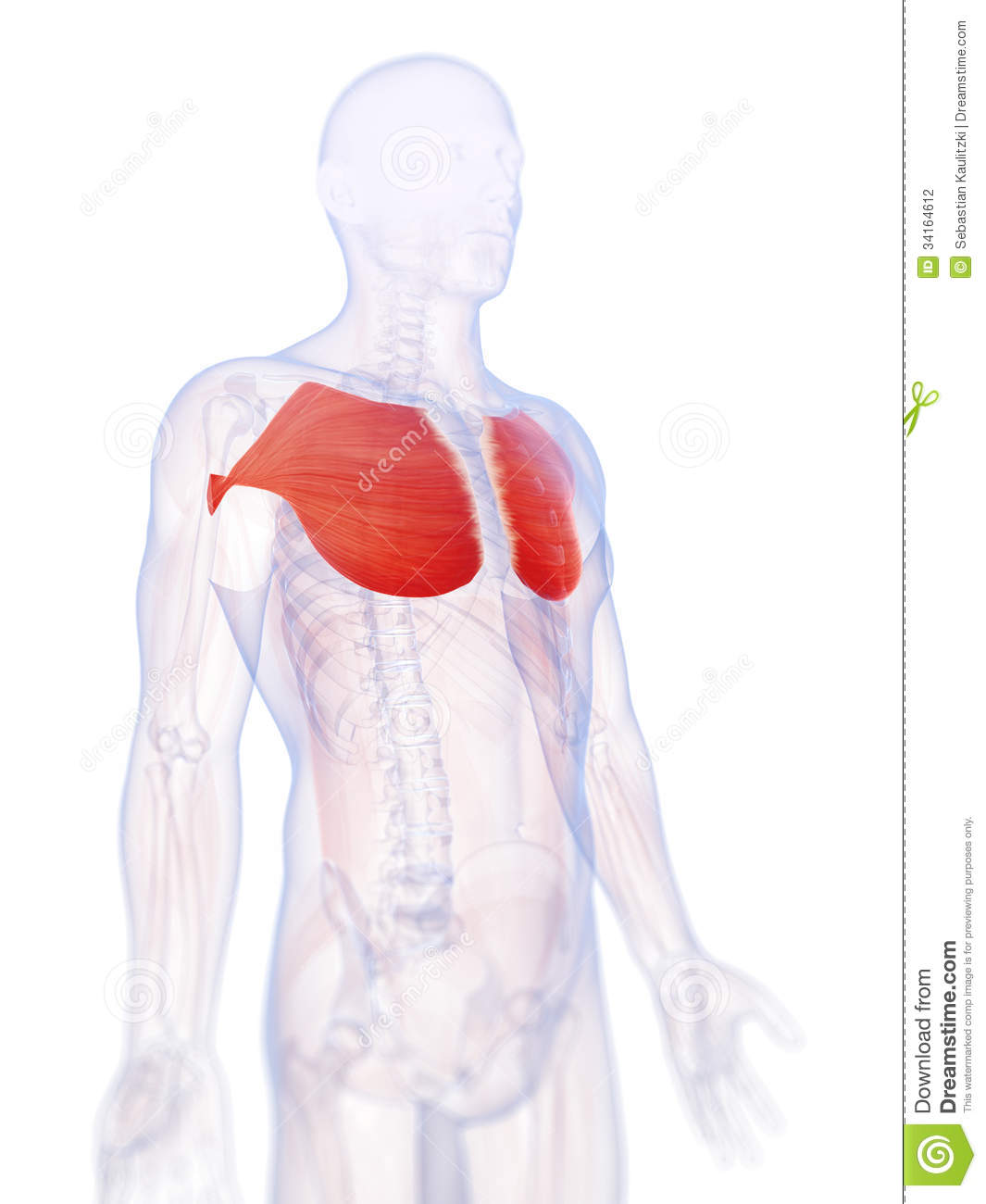 Highlighted Pectoralis Major Stock Illustration - Illustration of ...