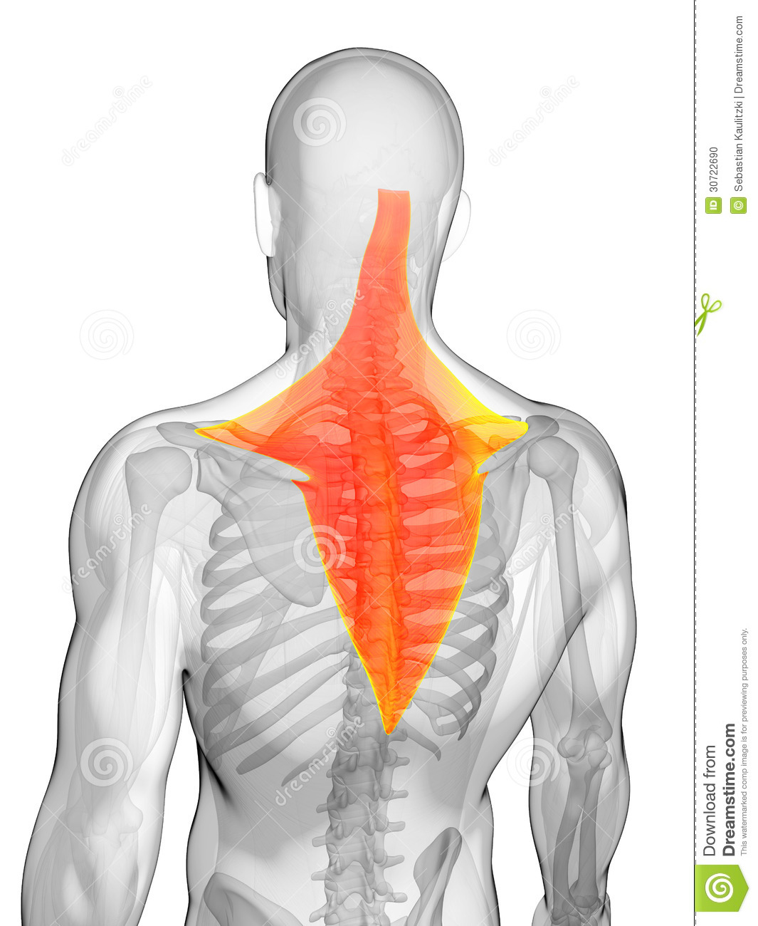 Highlighted Trapezius Muscle Stock Illustration Illustration Of