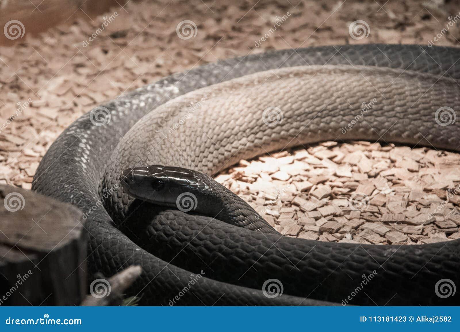 Highly Venomous Snake Black Mamba In Terrarium Stock Image Image
