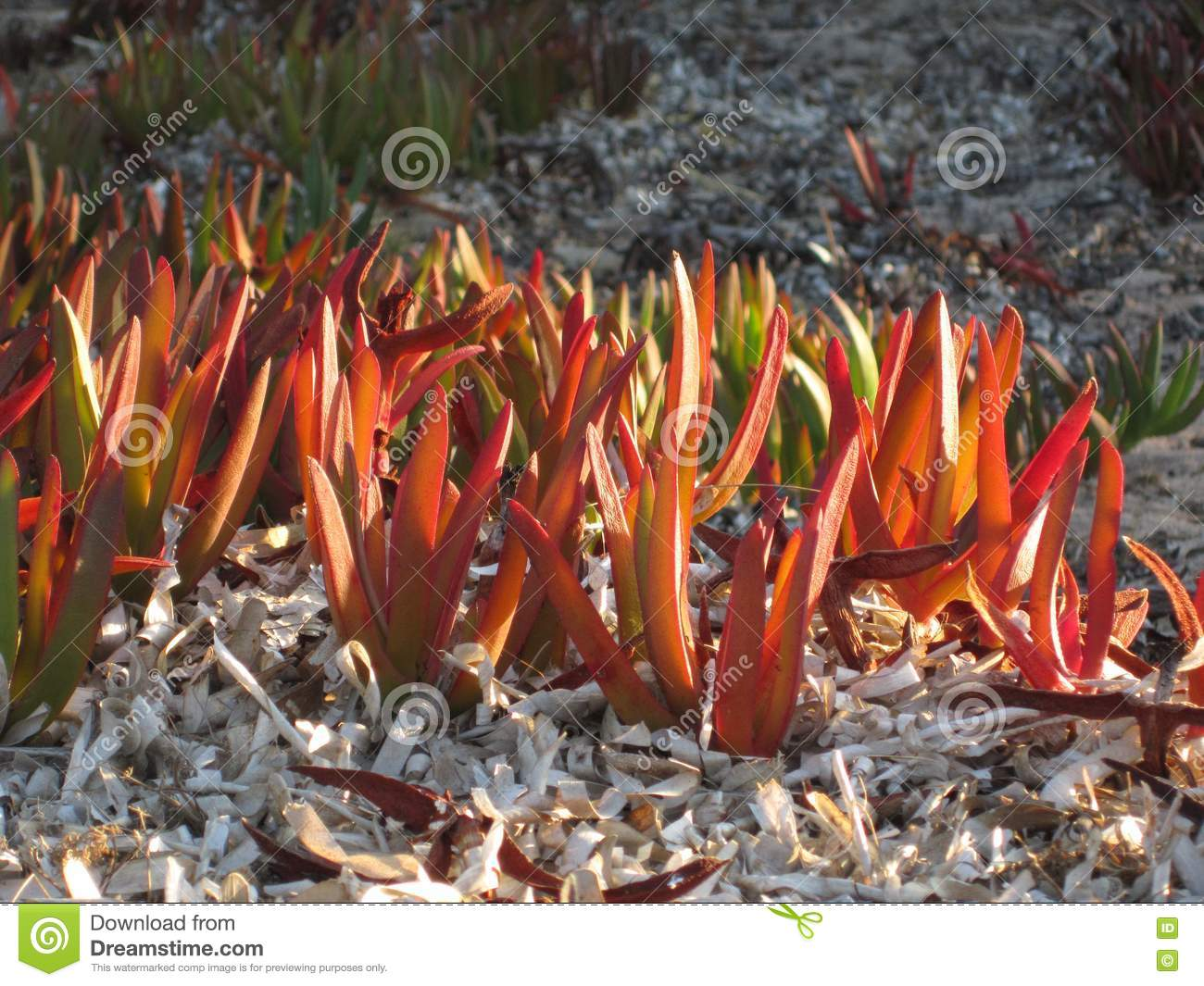 Highway iceplant or Hottentot-fig on the beach