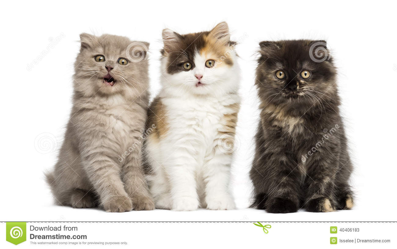 Higland straight and fold kittens sitting in a row, isolated on