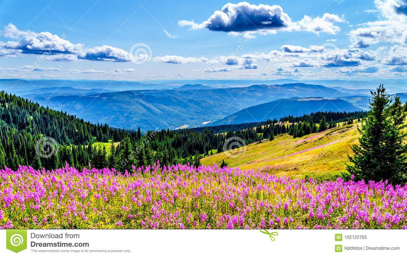 Hiking through alpine meadows covered in pink fireweed wildflowers