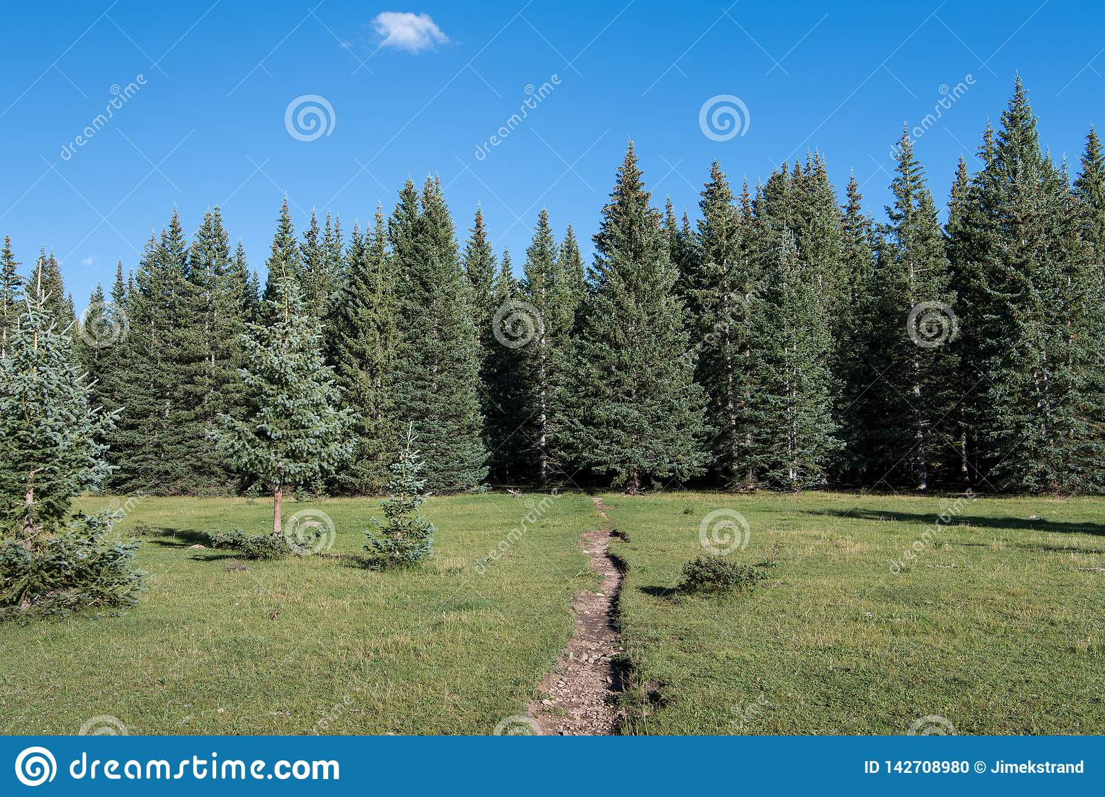 Hiking trail crossing a beautiful alpine meadow towards a forest of spruce and fir trees under a blue sky