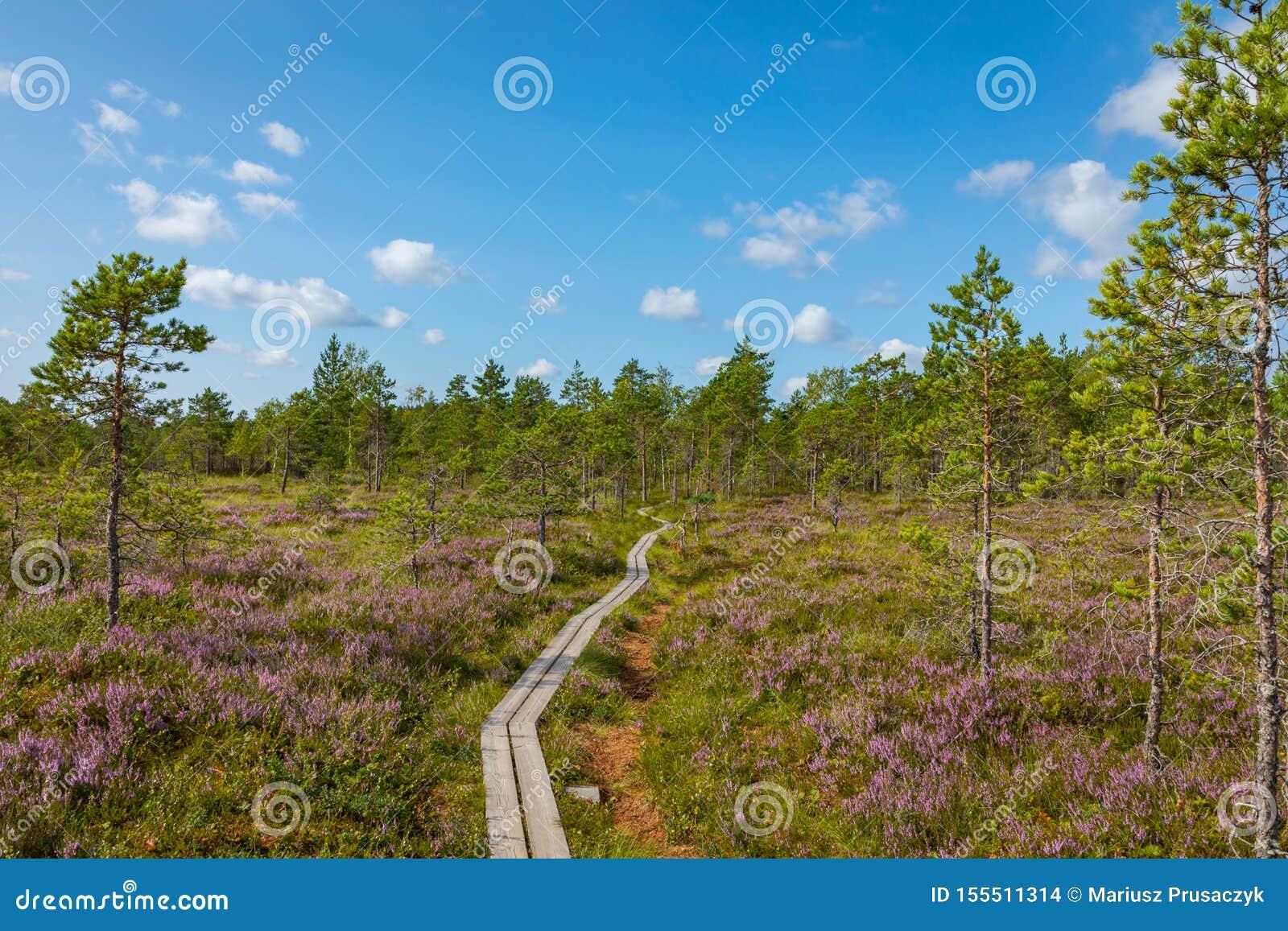 Hiking trail in scandinavian national park in a wetland bog. Kurjenrahka National Park. Turku, Finland. Nordic natural landscape
