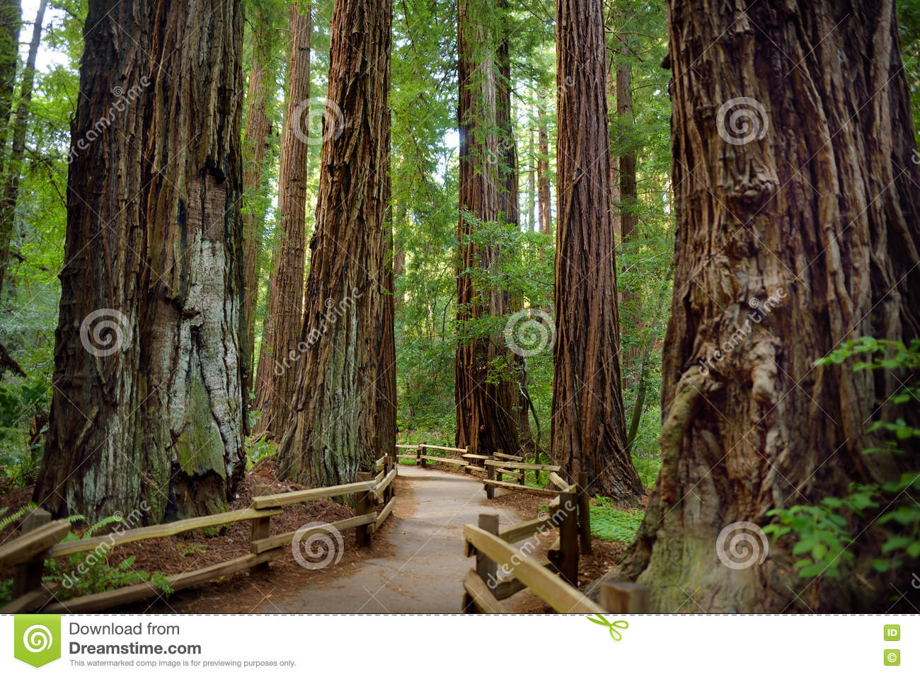 Hiking Trails Through Giant Redwoods In Muir Forest Near San