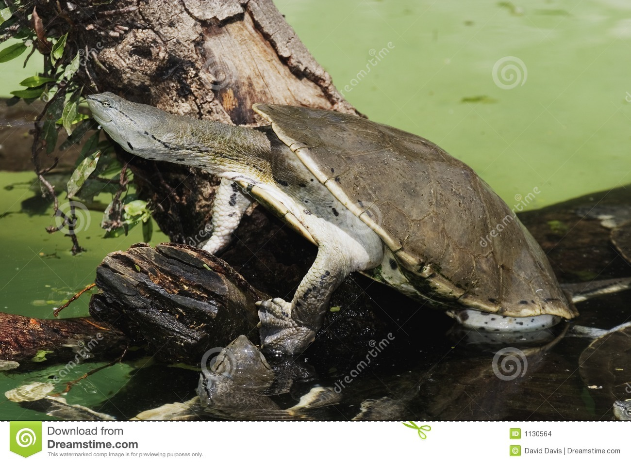 Hilaire s Side-necked Turtle