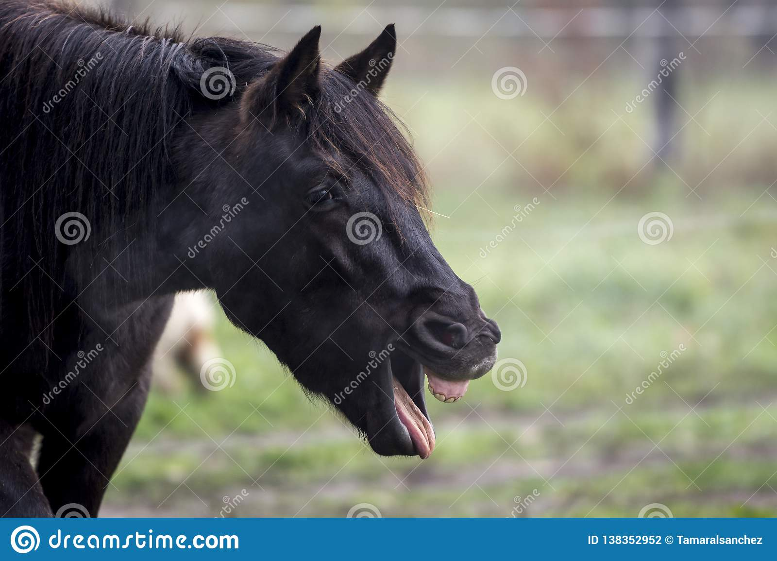 Funny portrait of a black horse yawning
