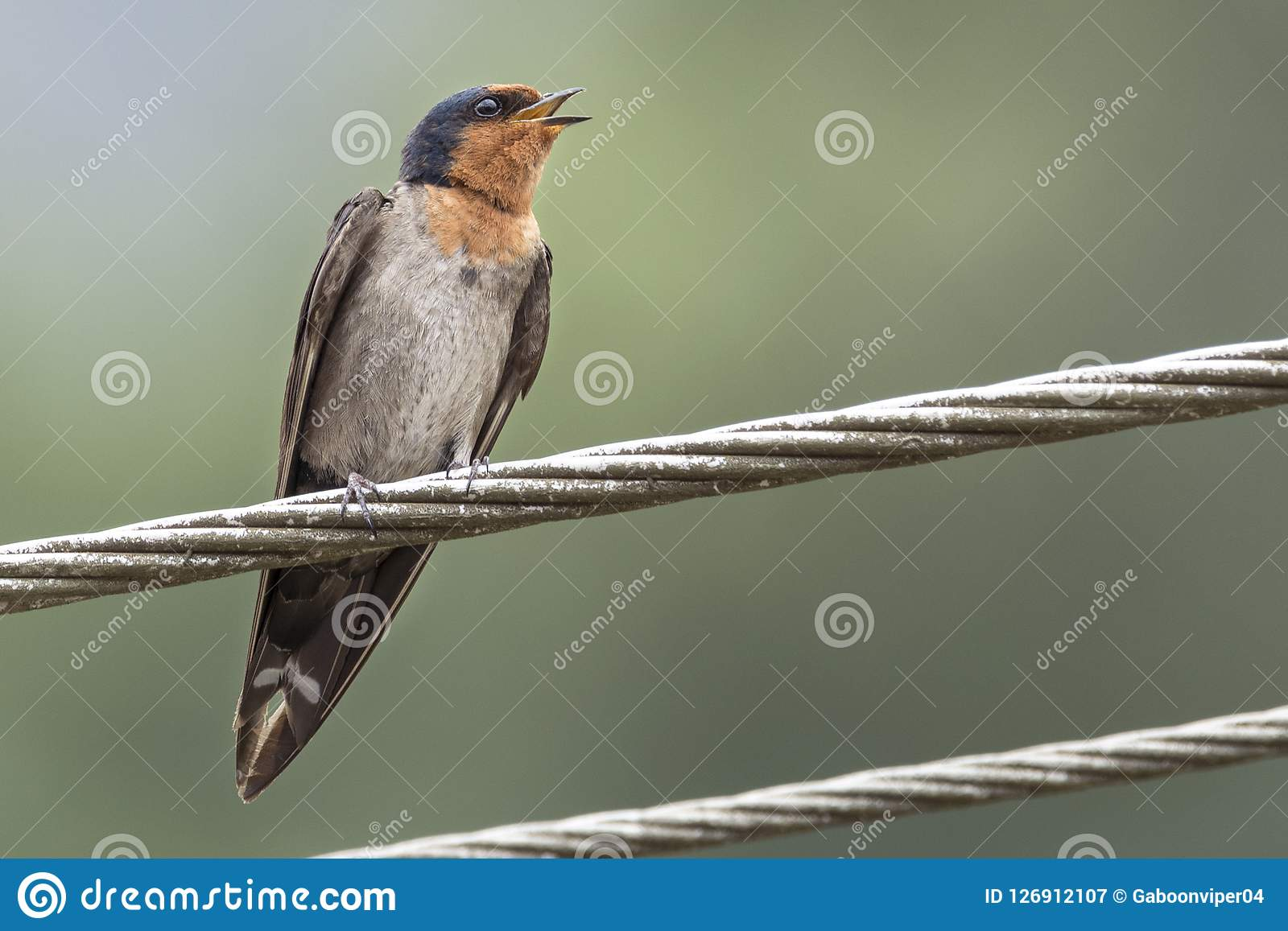 A Hill Swallow Bird Perched On Power Lines Stock Image ...
