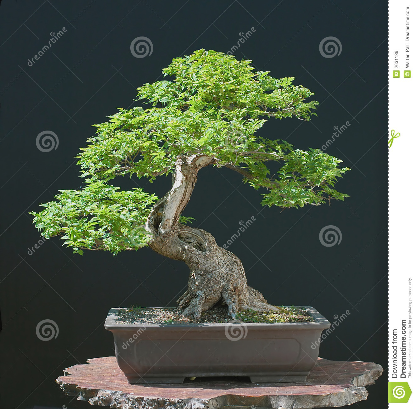 Hillieri elm bonsai in spring